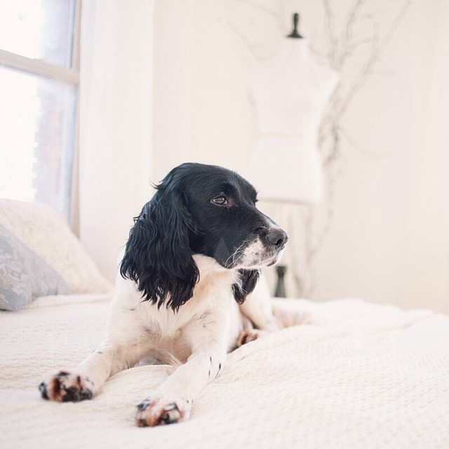 Boutique Boy Mickey. He is definitely one of our prettiest springer spaniels and has the sweetest temperament. He bestows affection to the other dogs by licking their eyeballs, which, I admit, I find rather disturbing. #ps_boutique