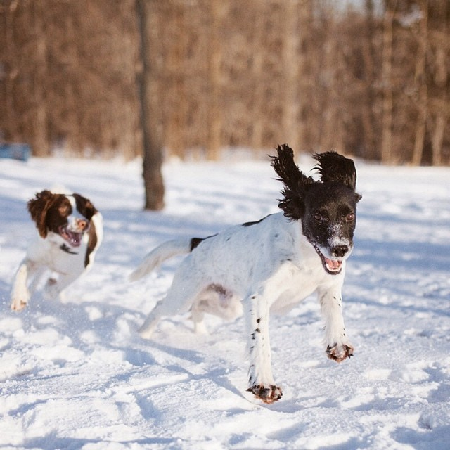 The Springer Brothers! To ward off some winter doldrums I took the dogs out and the 5DII with my loved 50mm #Sigma lens. It was cold but the #springerspaniels had fun. My hand were numb after 10 minutes - it was 5 F - so we weren't out for long. But it was fun.