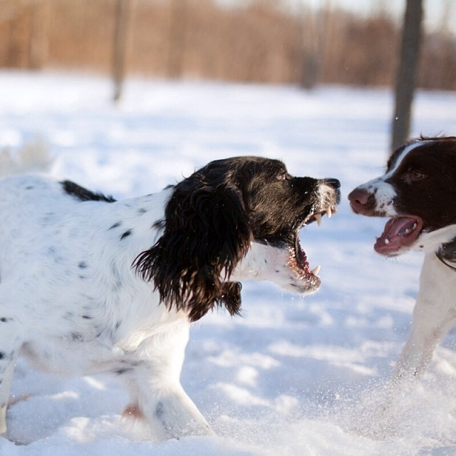 You're Gonna Hear Me Roar! The Brothers Springer playing ferociously. #ps_boutique #springerspaniels #50mm #sigmaphoto