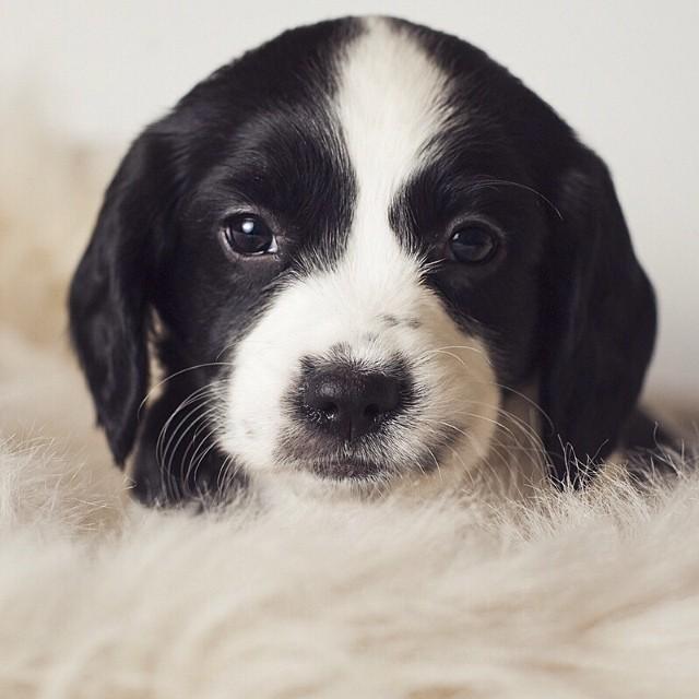 Gracie! #springerspaniels #puppies #babies #dogs