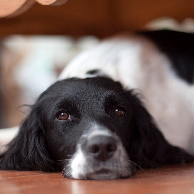 I Dream of Hunting. #springerspaniels #dogs #Mamiya645 #80mm
