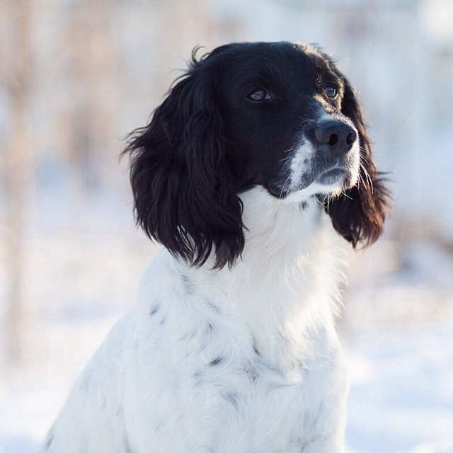 Mickey. So fine! #dogs #springerspaniels #minnesota #mamiya645