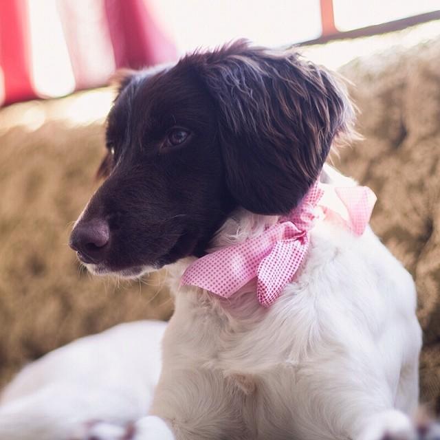 Princess Winnie #dogs #springerspaniels #diva #mamiya645