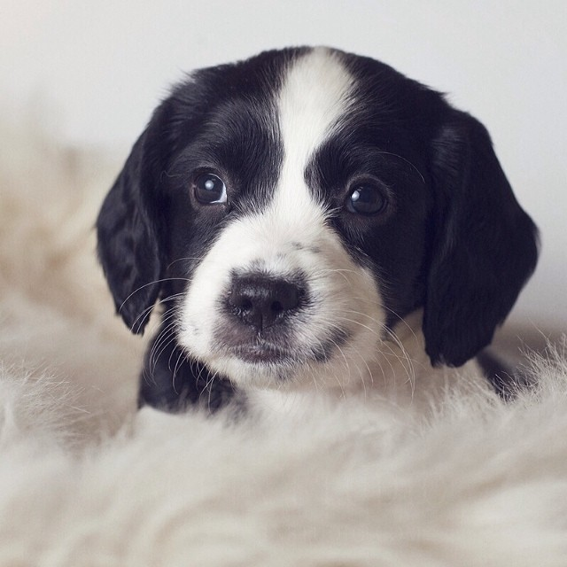 Springer Spaniel Baby #puppies #dogs #springerspaniels #baby #mamiya645