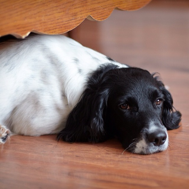 Unamused. I want to be alone. #dogs #springerspaniels
