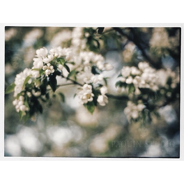 A little Polaroid joy to start the day -- #mamiya645 #80mmf19 #polaroid #paquinstudio #Owatonna, #minnesota #spring #film