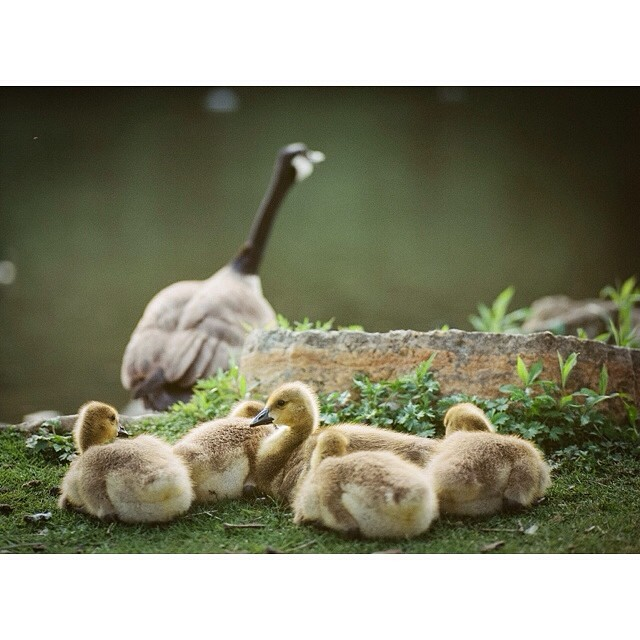 Geese bambino. #geese #film #mamiya645 #150mmf35 #mediumformat #owatonna #minnesota #portra160 #paquinstudio