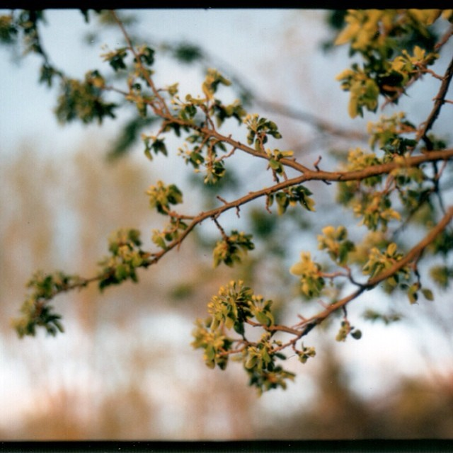 Soon to Bloom. Instant analog: #Polaroid #mamiya645 #fujifilm #paquinstudio #spring #Minnesota