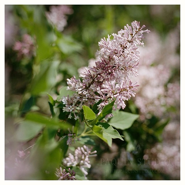 A little lilac - #portra400 #mamiya645 #paquinstudio #film #flowers #lovely