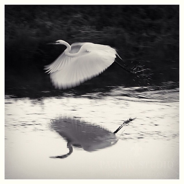 Slow shutter speed at take off. #egret #paquinstudio #Owatonna #canon1DIII