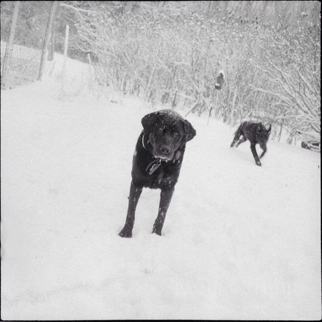"""It's Spring, no?"" said Mister, the black lab. #spring,"