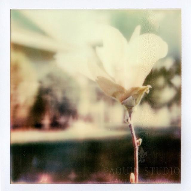 Magnolia in