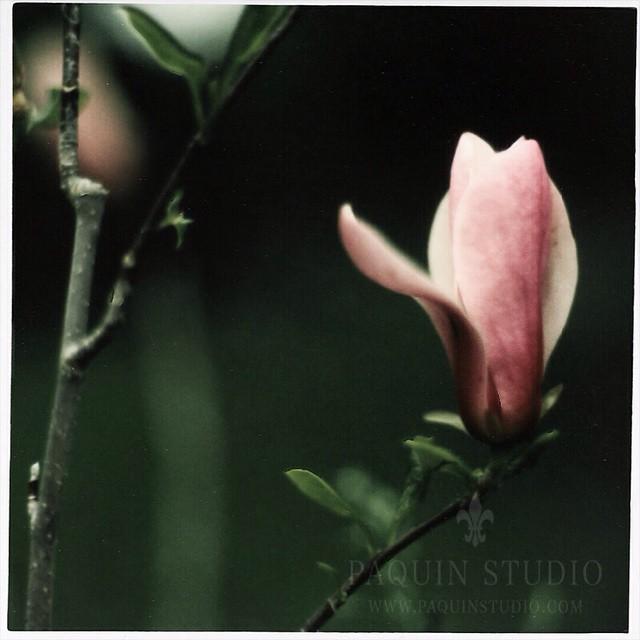 Polaroid And Magnolia