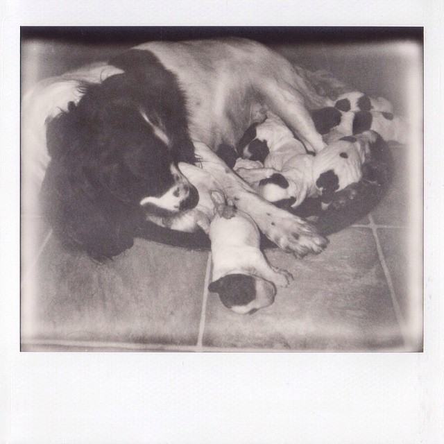 Puppies in Milly's litter - 8 babies now 2 days old. spectra