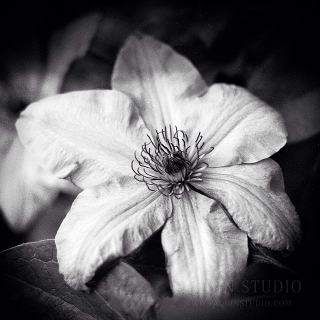 Clematis in #filmisnotdead. I'm pretty proud of myself - I developed the roll of film. First time with chemistry and a tank and no problems loading the reel. Developed with chemicals and scanned with an
