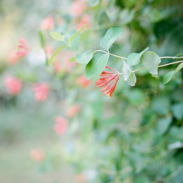 Sweetness of honeysuckle (and neither is my camera).