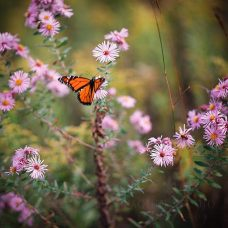 Monarch #Butterfly in the