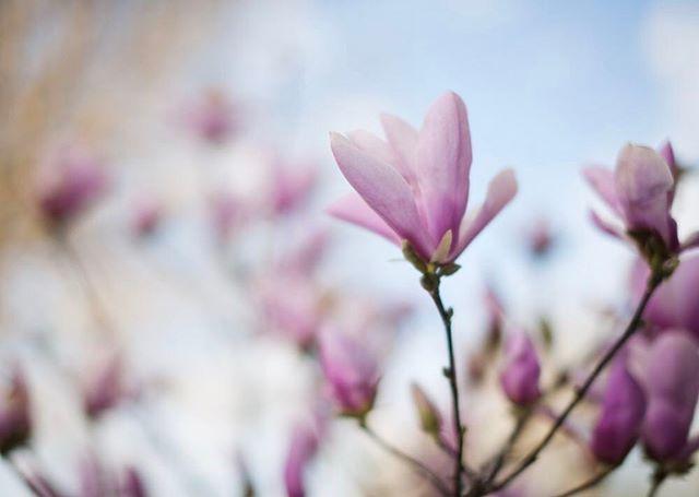 spring magnolia in Minnesota